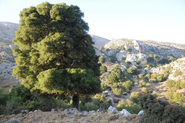Ancient Prickly Oak tree (Quercus coccifera), Dikti Mountains, Crete