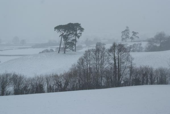 Black Pine trees in a snow storm in the Tywi valley